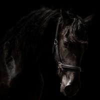 arabo-friesian-horses-black