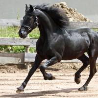 arabo-friesian-woodstock-5